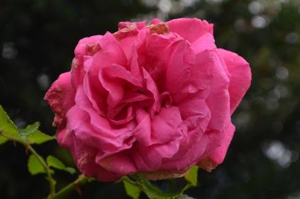 Rosa 'Karlsuhe'
