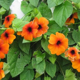Thunbergia alata 'Supersrar Orange'