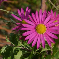 Chrysanthemum 'Mrs . Jessie Cooper'