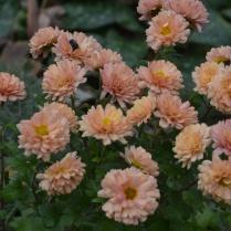 Chrysanthemum 'Picasso'