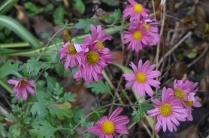 Chrysanthemum x hortorum 'Ahlemer Rote''