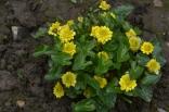 Ficaria verna 'Flore Plena'