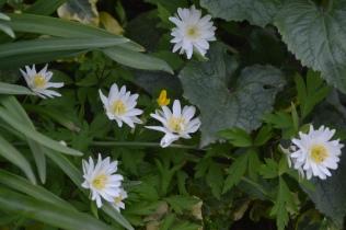 Anemone nemorosa 'Bracteata Plena