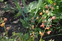 Epimedium 'Orange Queen'