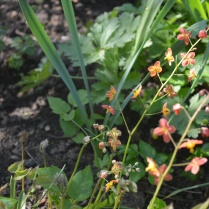 Epimedium 'Orange Queen'