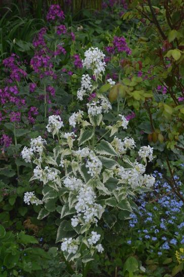Lunaria annua 'Variegata alba'