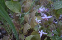 Epimedium 'Pink Elf'