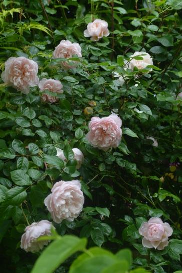 Rosa 'Gardener's Friend'