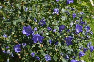 Campanula 'Spring Bell'