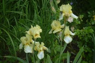 Iris 'Benton Primrose'