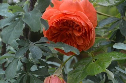 Rosa 'Summer Song'