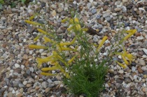 Penstemon pinifolius 'Mersea Yellow'