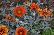 Gazania 'Talent Red Shades'