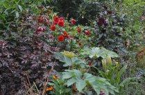 Hibiscus acetosella 'Mahogany Splendour'