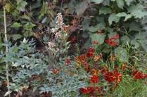 Coreopsis tinctoria 'Roulette'