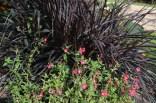 Cuphea blepharophylla