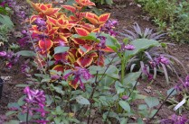 Salvia 'Wendy's Wish' with Coleus