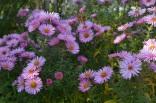 Symhiotrichum 'Harrington's Pink'
