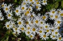 Arctanthemum articum