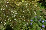Symphyotrichum pilosus var. pringlei 'Monte Cassino'
