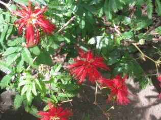 Calliandra tweedia