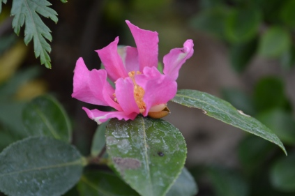 Camellia sas