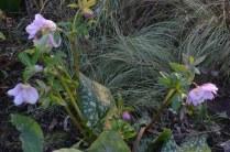 helleborus 'phoebe'