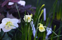 Narcissus romieuxi 'Julia Jane'