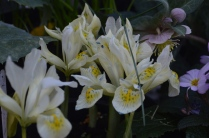 Iris 'katherine's Gold'