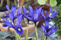 Iris 'Palm Springs'