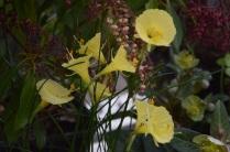 Narcissus ''Spoirot'