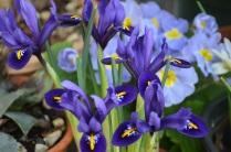 Iris Pixie'
