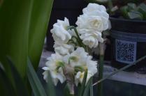 Narcissus 'Bridal Crown'