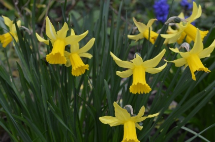 Narcissus 'Peepeing Jenny'