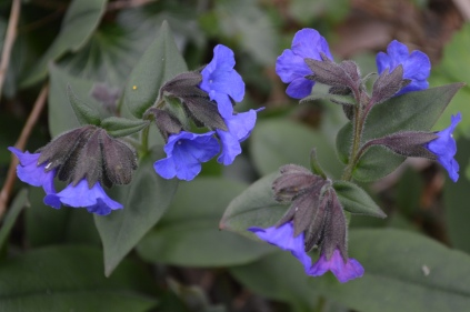 Pulmonaria 'Blue ensign'