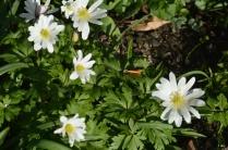 Anemone nemorosa 'White Splendour'
