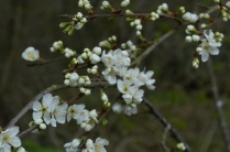 Damson Blosssom