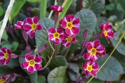 Primula 'Rosaleen'