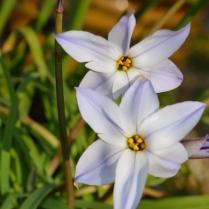 Ipheion uniflorum ssp tandiliense