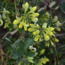Coronillla valentina ssp.glauca 'Citrina'