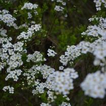 Spiraea Arguta 'Bridal Wreath'