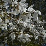 Magnolia 'Wada's Memory''
