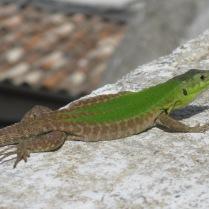Italian Wall Lizard Podarcis siculus