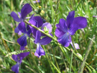 Viola heterophylla