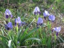 iris growing wild Monte Sacro Gargano