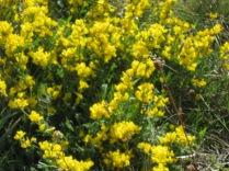 Cytisus decumbens ssp. elata