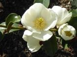 Magnolia laevigata 'Gail's Favourite'