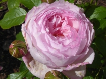 Rosa 'Mill on the Floss'