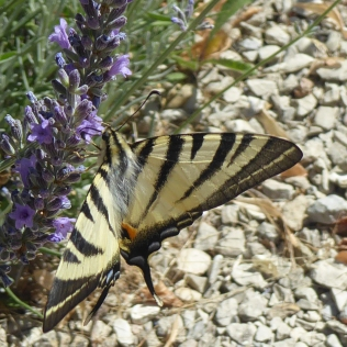 Swallowtail Butterfly. Burgundy.