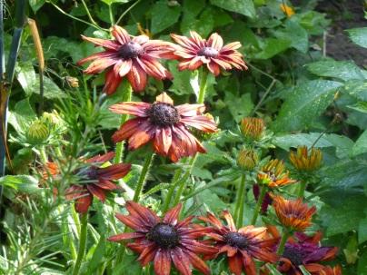 Rudbeckia 'Summerina O range'